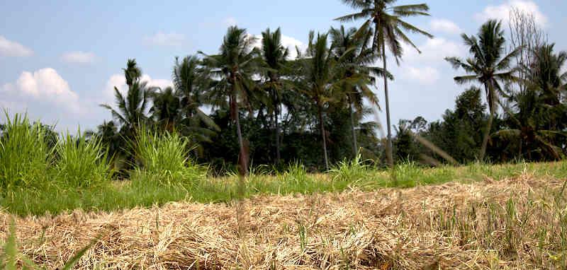 Bukit Campuhan & Rice Field Trekking